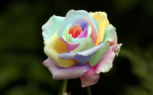 rosa multicolor